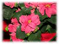 Curly Poinsettias Christmas wallpaper